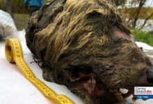 Photo of Lobo de 40 mil años es hallado en Siberia