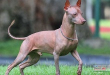 Photo of El Xoloitzcuintle, un lomito muy mexicano